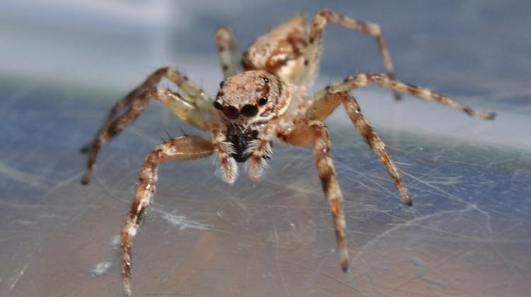 Spider Venom for Pain Relief